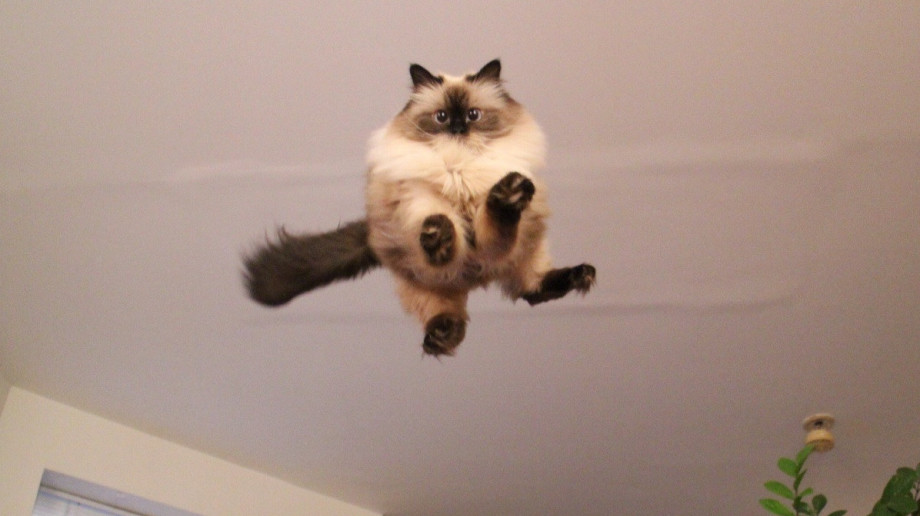 Cutest-Siamese-Cat-With-An-Owl-Head-Teddy-Bear-Eyes-Loves-Jumping-On-Beds-920x516.jpg